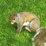 un ecureuil a harvard
